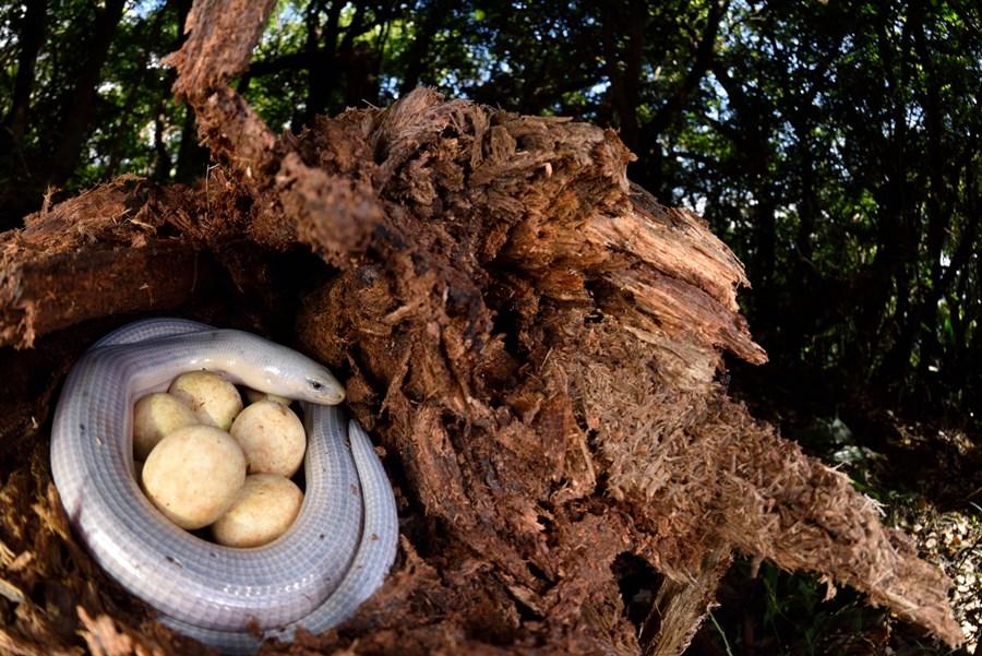 巧遇蛇蜥護卵