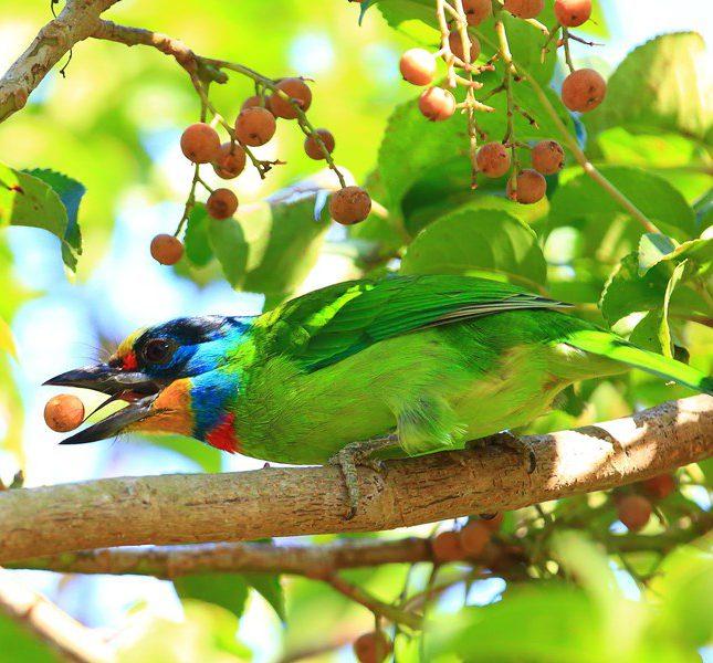 五色鳥表演舌上功夫