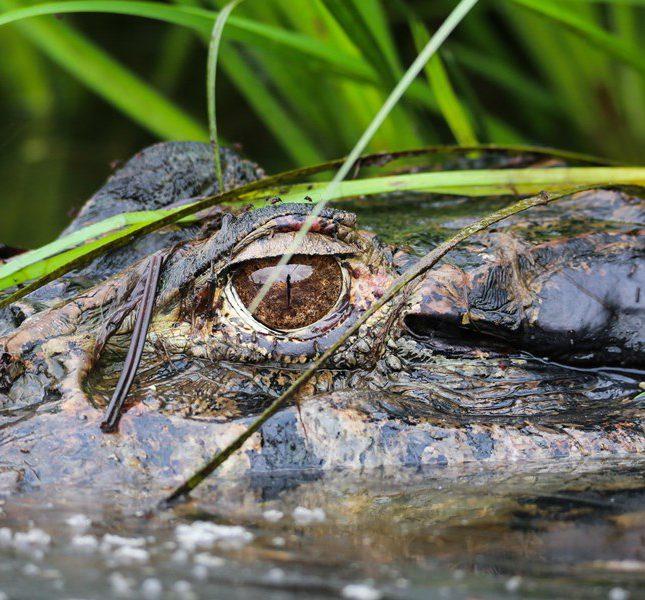 凱門鱷與蚊