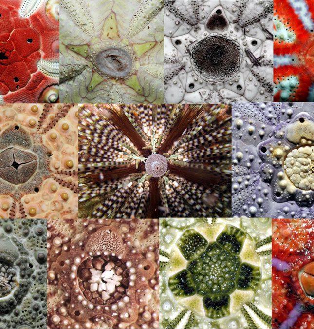 海膽的菊花:頂系